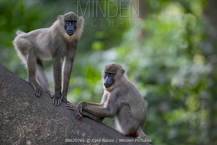 Drill (Mandrillus leucophaeus) male and female very similar when young, Pandrillus Drill Sanctuary, Nigeria  -  Cyril Ruoso