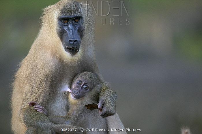 Drill (Mandrillus leucophaeus) adult female nursing young, Pandrillus Drill Sanctuary, Nigeria  -  Cyril Ruoso
