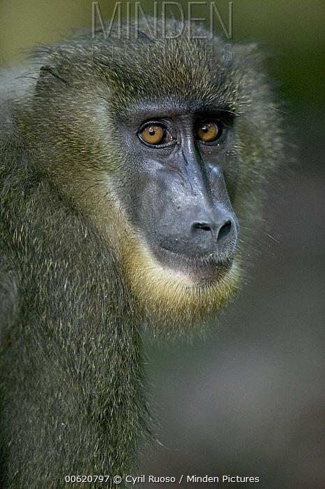 Drill (Mandrillus leucophaeus) young female, Pandrillus Drill Sanctuary, Nigeria  -  Cyril Ruoso
