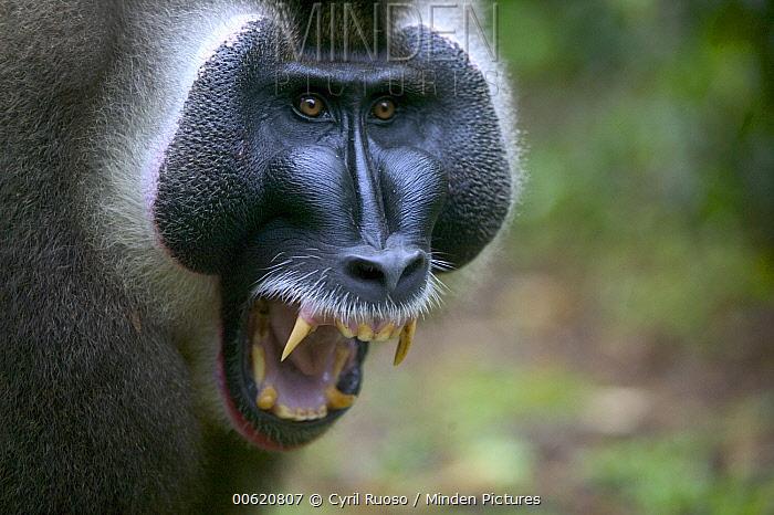 Drill (Mandrillus leucophaeus) alpha male calling, Pandrillus Drill Sanctuary, Cross River State, Nigeria  -  Cyril Ruoso