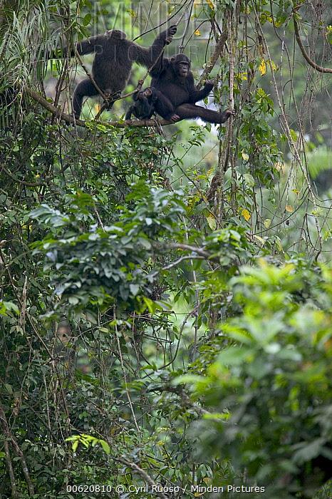 Chimpanzee (Pan troglodytes) pair with baby, Pandrillus Drill Sanctuary, Nigeria  -  Cyril Ruoso