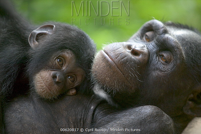 Chimpanzee (Pan troglodytes) adult female and infant, Pandrillus Drill Sanctuary, Nigeria  -  Cyril Ruoso