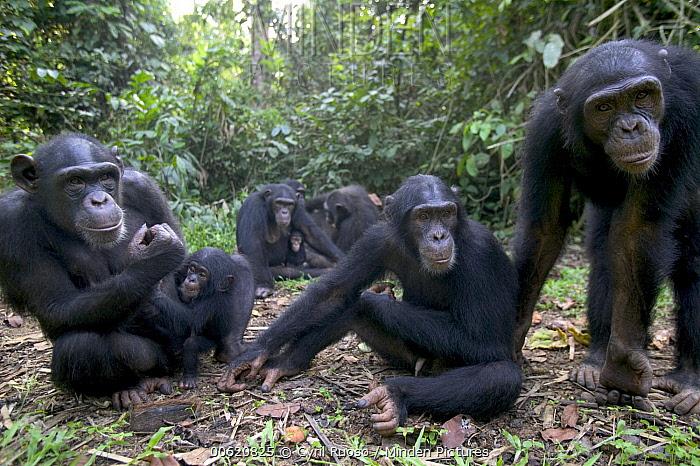 Chimpanzee (Pan troglodytes) adults and young, Pandrillus Drill Sanctuary, Nigeria  -  Cyril Ruoso