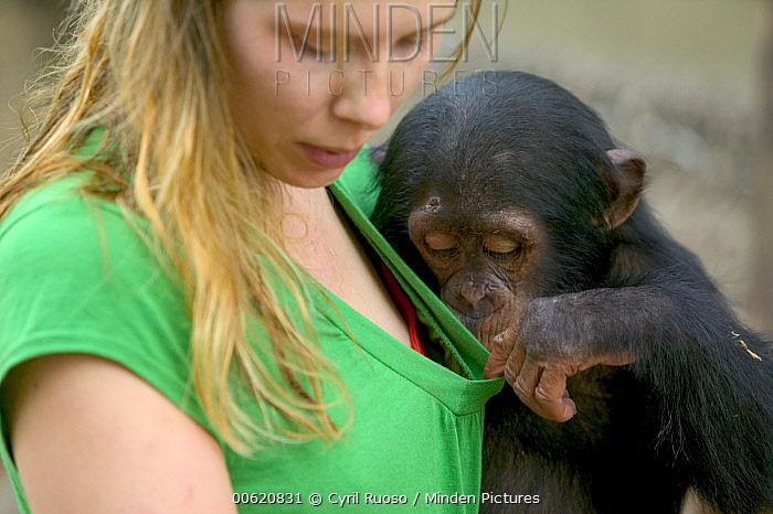 Chimpanzee (Pan troglodytes) baby playing with keeper, Pandrillus Drill Sanctuary, Nigeria  -  Cyril Ruoso