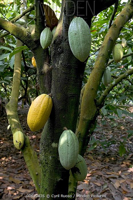 Cocoa (Theobroma cacao) plantation, Boje Village, Cross River State, Nigeria  -  Cyril Ruoso