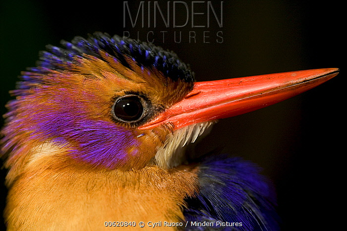 African Pygmy Kingfisher (Ispidina picta) portrait, Cross River State, Nigeria  -  Cyril Ruoso