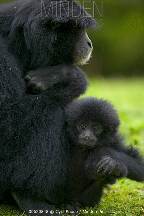 Siamang (Hylobates syndactylus) mother with young, native to southeast Asia  -  Cyril Ruoso