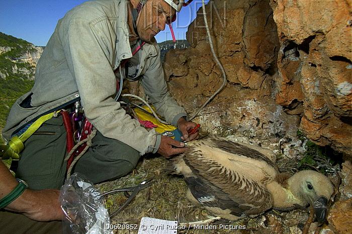 Griffon Vulture (Gyps fulvus) researchers banding juvenile, Tarn Gorge, Cevennes National Park, Grands Causses, France  -  Cyril Ruoso