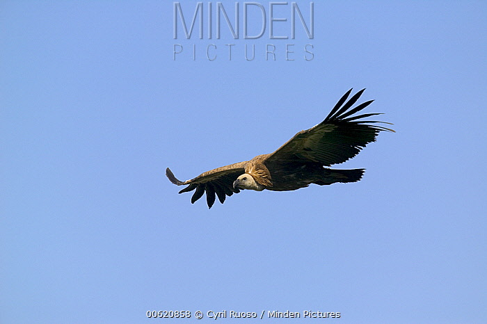 Griffon Vulture (Gyps fulvus) flying, Cevennes National Park, Grands Causses, France  -  Cyril Ruoso