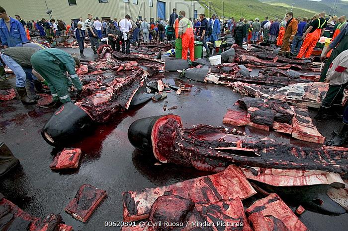 Long-finned Pilot Whale (Globicephala melas) subsistence hunting, 150 harvested, Faroe Islands  -  Cyril Ruoso