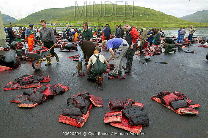 Long-finned Pilot Whale (Globicephala melas) subsistence hunting, 150 harvested, Faroe Islands  -  Cyril Ruoso
