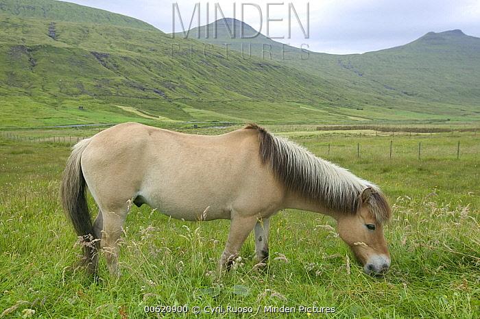 Domestic Horse (Equus caballus) grazing, Faroe Islands  -  Cyril Ruoso