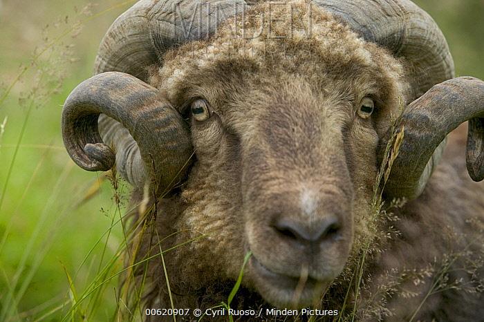 Domestic Sheep (Ovis aries) portrait, Streymoy Island, Faroe Islands  -  Cyril Ruoso