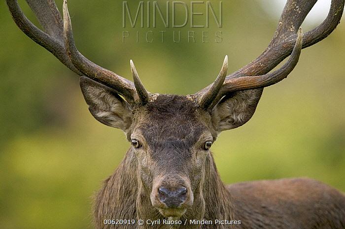 Red Deer (Cervus elaphus) stag portrait, Denmark  -  Cyril Ruoso