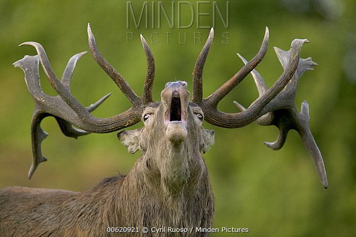 Red Deer (Cervus elaphus) stag bugling during autumn rutting season, Denmark  -  Cyril Ruoso