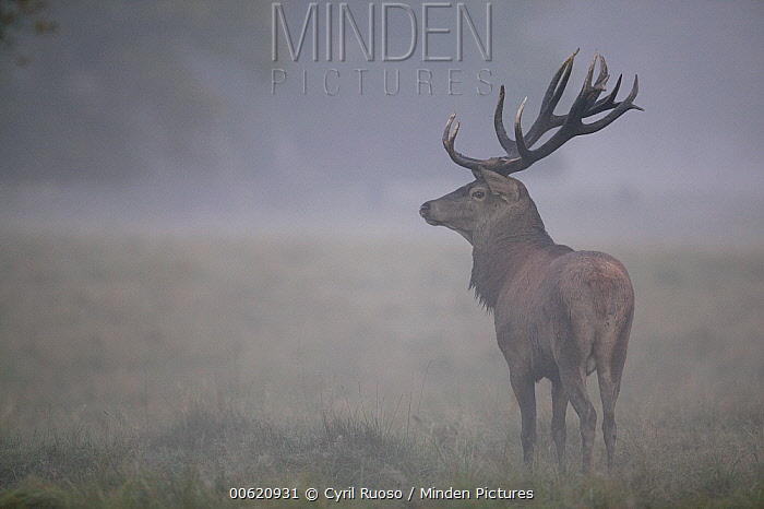 Red Deer (Cervus elaphus) stag in morning fog during autumn rutting period, Denmark  -  Cyril Ruoso