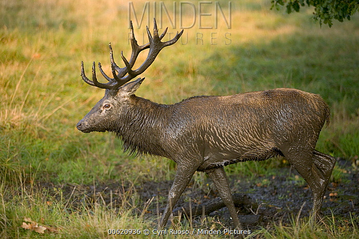 Red Deer (Cervus elaphus) stag covered in mud during autumn rutting season, Denmark  -  Cyril Ruoso