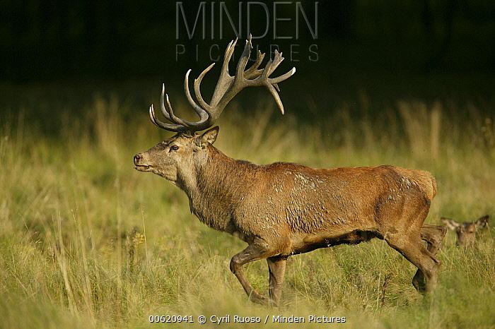 Red Deer (Cervus elaphus) stag in autumn rutting season, Denmark  -  Cyril Ruoso