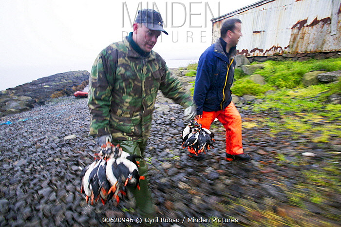 Atlantic Puffin (Fratercula arctica) hunter with catch, Vestmann Island, Iceland  -  Cyril Ruoso