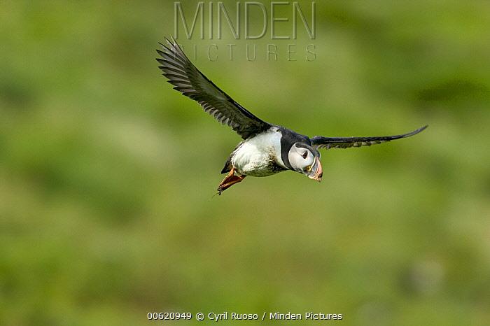 Atlantic Puffin (Fratercula arctica) flying, Vestmann Island, Iceland  -  Cyril Ruoso