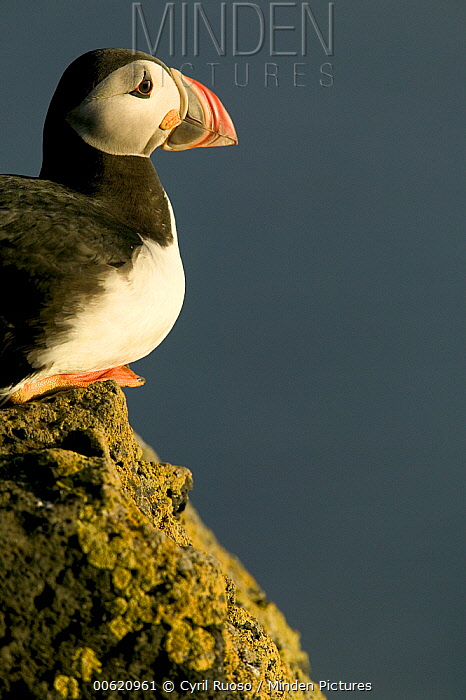 Atlantic Puffin (Fratercula arctica) profile, side view, Vestmann Island, Iceland  -  Cyril Ruoso