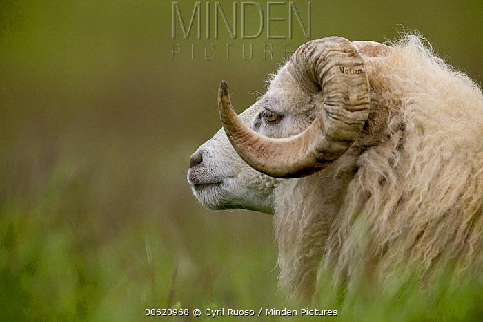 Domestic Sheep (Ovis aries) ram, east coast, Iceland  -  Cyril Ruoso