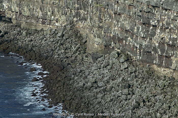Seabird nesting cliff, Krisuvikurberg Cliff, Iceland  -  Cyril Ruoso