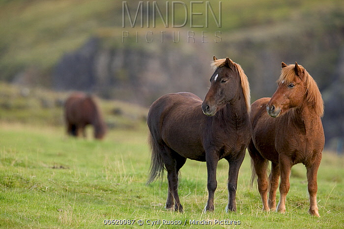 Domestic Horse (Equus caballus) pair in field central Iceland  -  Cyril Ruoso