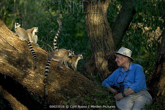 Ring-tailed Lemur (Lemur catta) primatologist Allison Jolly with four lemurs, vulnerable, Berenty Private Reserve, Madagascar  -  Cyril Ruoso