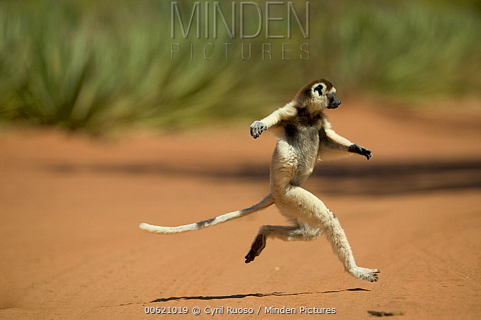 Verreaux's Sifaka (Propithecus verreauxi) hopping across open ground, vulnerable, Berenty Private Reserve, Madagascar  -  Cyril Ruoso