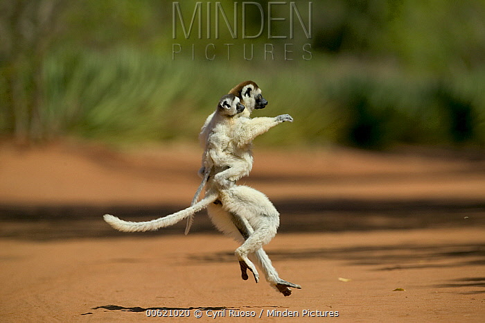 Verreaux's Sifaka (Propithecus verreauxi) female with young on back hopping across open ground, vulnerable, Berenty Private Reserve, Madagascar  -  Cyril Ruoso
