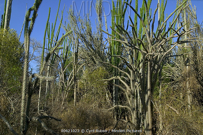 Madagascan Ocotillo (Alluaudia procera) forest in the Spiny Desert, Berenty Private Reserve, Madagascar  -  Cyril Ruoso