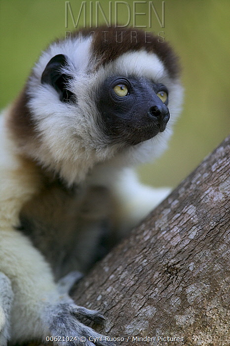 Verreaux's Sifaka (Propithecus verreauxi) portrait, vulnerable, Berenty Private Reserve, Madagascar  -  Cyril Ruoso