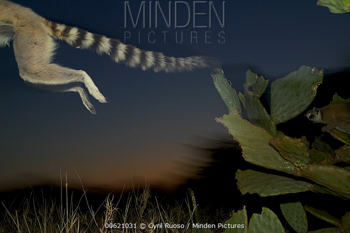 Ring-tailed Lemur (Lemur catta) leaping from a cactus, vulnerable, Berenty Private Reserve, Madagascar  -  Cyril Ruoso