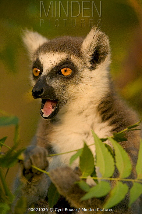 Ring-tailed Lemur (Lemur catta) calling, vulnerable, Berenty Private Reserve, Madagascar  -  Cyril Ruoso