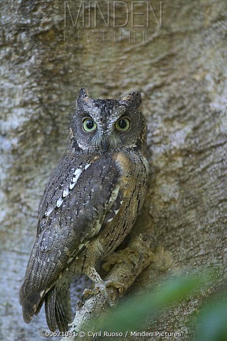 Malagasy Scops-Owl (Otus rutilus) portrait, Berenty Private Reserve, Madagascar  -  Cyril Ruoso
