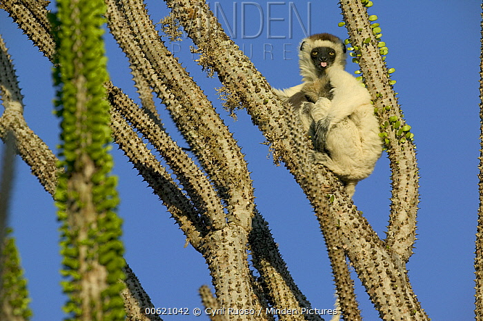 Verreaux's Sifaka (Propithecus verreauxi) sitting in Madagascan Ocotillo (Alluaudia procera) sticking out tongue, vulnerable, Berenty Private Reserve, Madagascar  -  Cyril Ruoso
