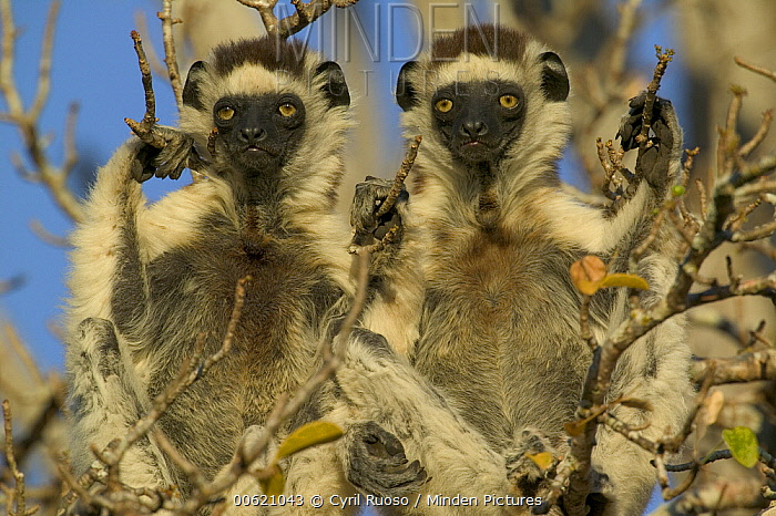 Verreaux's Sifaka (Propithecus verreauxi) pair warming themselves in the sun, vulnerable, Berenty Private Reserve, Madagascar  -  Cyril Ruoso