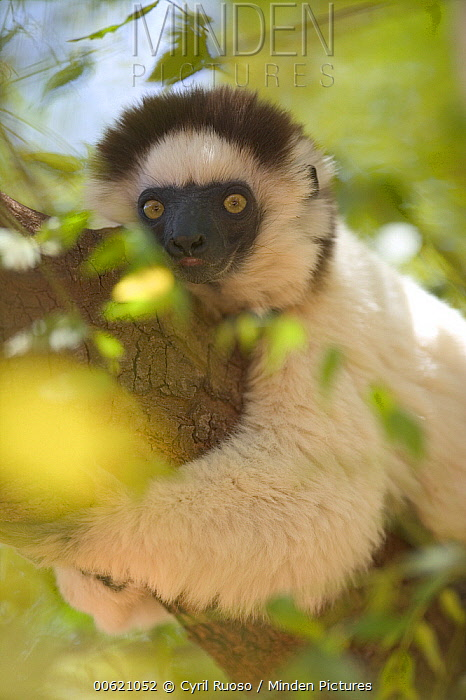 Verreaux's Sifaka (Propithecus verreauxi) holding onto a tree trunk, vulnerable, Berenty Private Reserve, Madagascar  -  Cyril Ruoso
