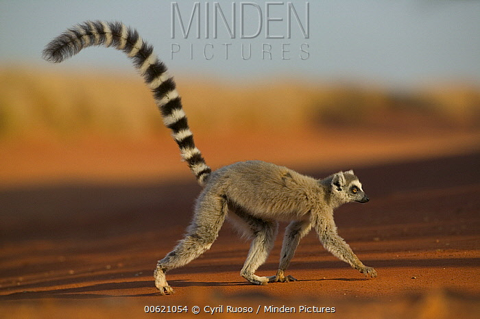 Ring-tailed Lemur (Lemur catta) walking across open ground, vulnerable, Berenty Private Reserve, Madagascar  -  Cyril Ruoso