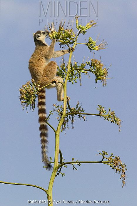 Ring-tailed Lemur (Lemur catta) feeding on Sisal (Agave sisalana) flowers, vulnerable, Berenty Reserve, Madagascar  -  Cyril Ruoso