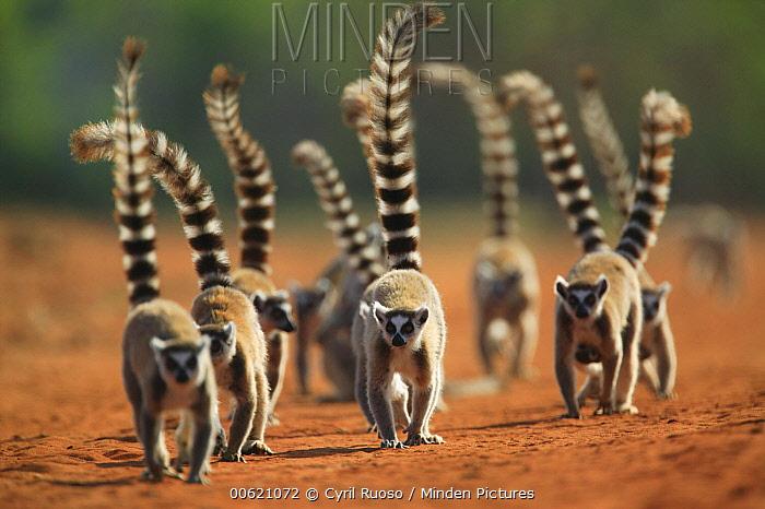 Ring-tailed Lemur (Lemur catta) troop walking down dirt road, vulnerable, Berenty Private Reserve, Madagascar  -  Cyril Ruoso