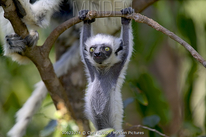 Verreaux's Sifaka (Propithecus verreauxi) baby hanging from tree branch, vulnerable, Berenty Private Reserve, Madagascar  -  Cyril Ruoso