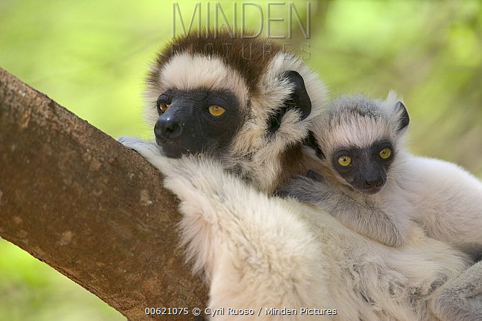 Verreaux's Sifaka (Propithecus verreauxi) mother and baby resting, vulnerable, Berenty Private Reserve, Madagascar  -  Cyril Ruoso