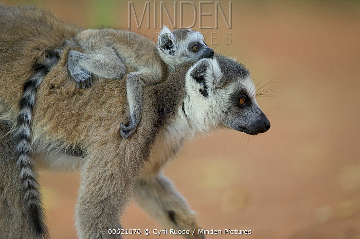 Ring-tailed Lemur (Lemur catta) baby riding on mother's back, vulnerable, Berenty Private Reserve, Madagascar  -  Cyril Ruoso