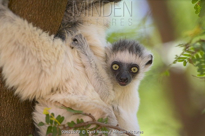 Verreaux's Sifaka (Propithecus verreauxi) baby clinging to mother's back, vulnerable, Berenty Private Reserve, Madagascar  -  Cyril Ruoso