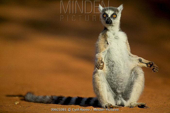 Ring-tailed Lemur (Lemur catta) male warming himself in the sun, vulnerable, Madagascar  -  Cyril Ruoso