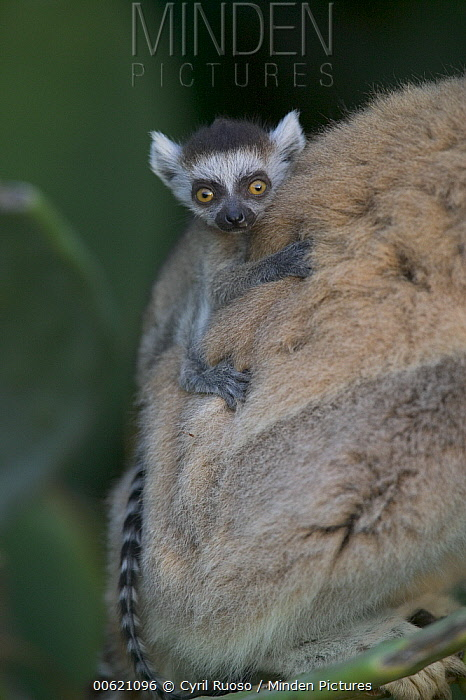 Ring-tailed Lemur (Lemur catta) baby on mother's back, vulnerable, Berenty Private Reserve, Madagascar  -  Cyril Ruoso
