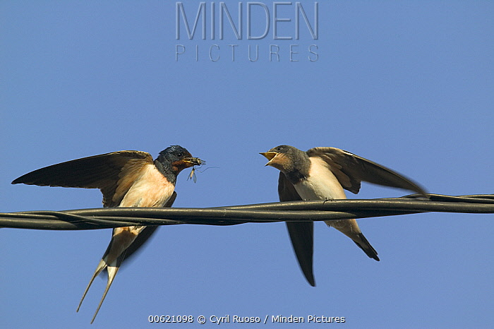 Barn Swallow (Hirundo rustica) parent feeding begging fledgling, Bourgogne, France  -  Cyril Ruoso