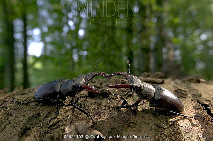 Stag Beetle (Lucanidae) pair facing off, Bourgogne, France  -  Cyril Ruoso
